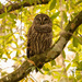 Barred Owl Hanging Out!