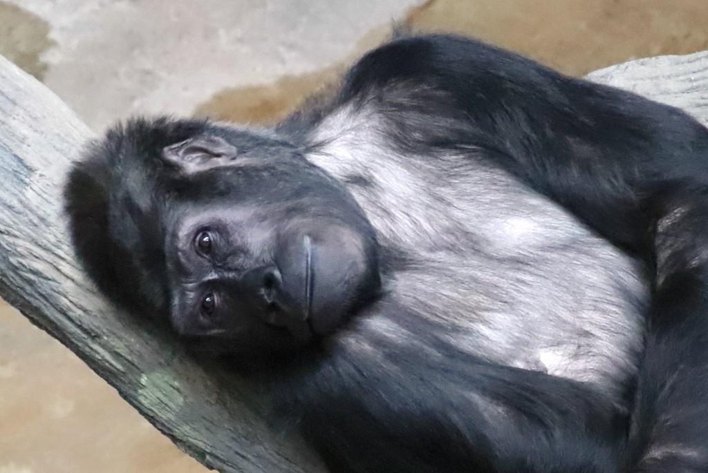 Relaxing Gorilla by randy23
