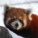 Leo The Red Panda