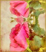 19th Feb 2020 - My valentine's rose