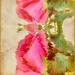 My valentine's rose