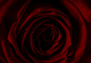16th Feb 2020 - Rose