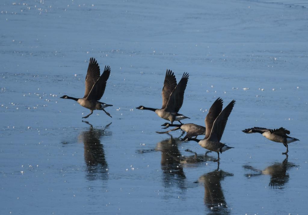 Geese Ice-Skating by kareenking