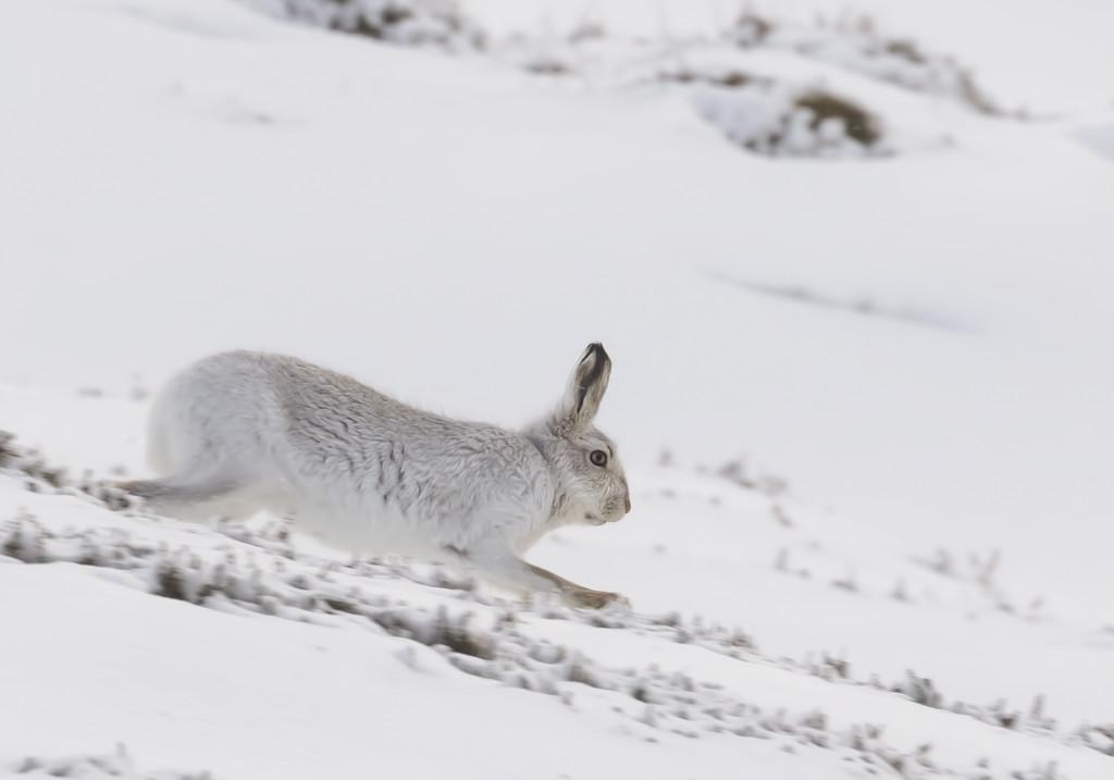 Running Mountain Hare by shepherdmanswife