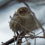 19th Feb 2020 - house sparrow