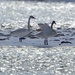 trumpeter swans on the Bow River