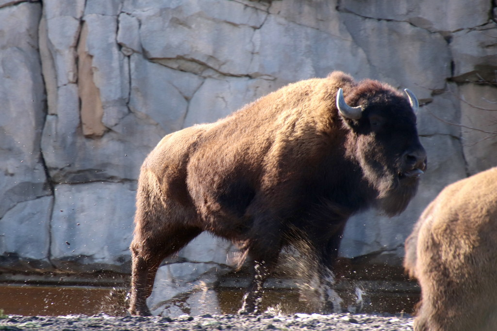 Bison On The Run by randy23