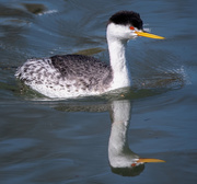 19th Feb 2020 - Clarks Grebe on the Bay