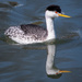 Clarks Grebe on the Bay