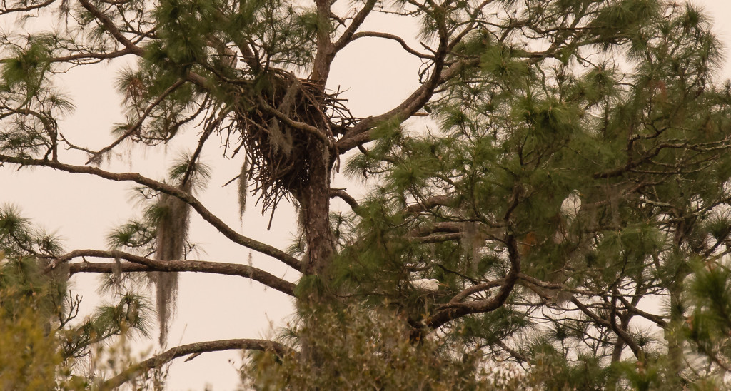 The Eagles and Egret's Appear to be Sharing the Same Tree! by rickster549