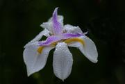 14th Feb 2020 - Iris in the rain