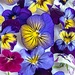 Edible Pansies