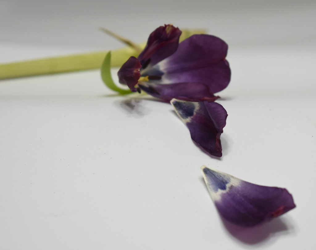 My tulips died! by homeschoolmom