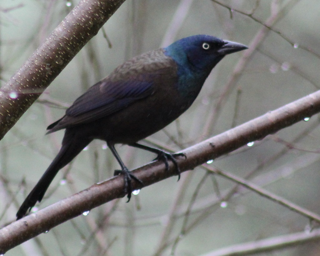 Grackle by cjwhite
