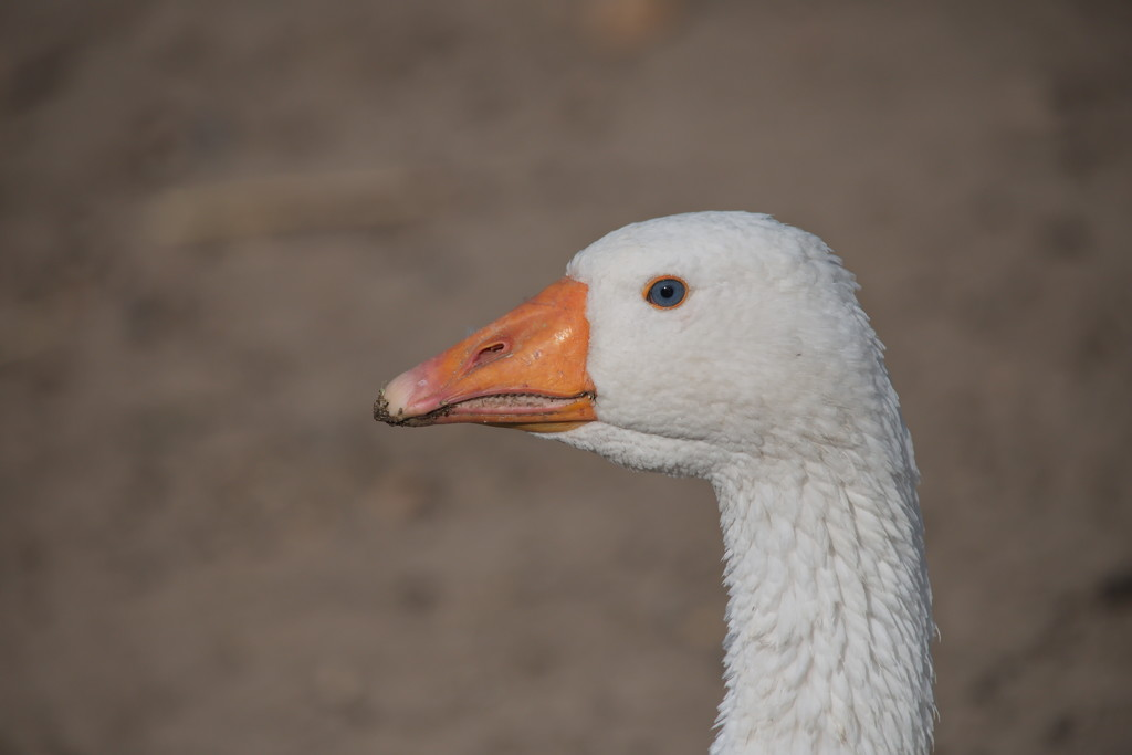 Goose on the look out by kgolab