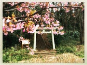 20th Feb 2020 - 2020-02-20 Blooming Torii