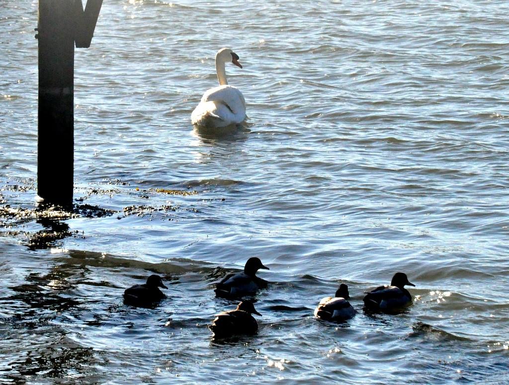 """Hey, you.... ducks, follow me!"" by sailingmusic"