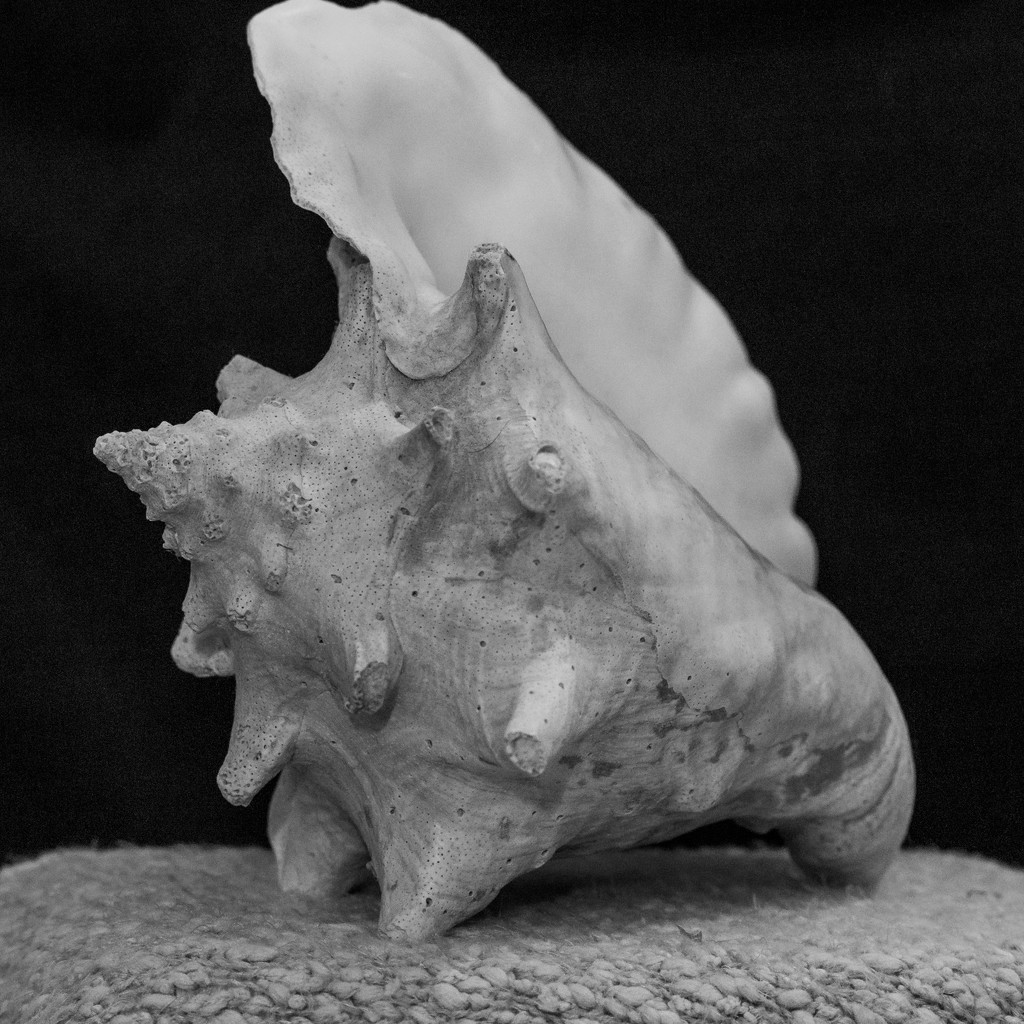 Conch Shell by jnorthington