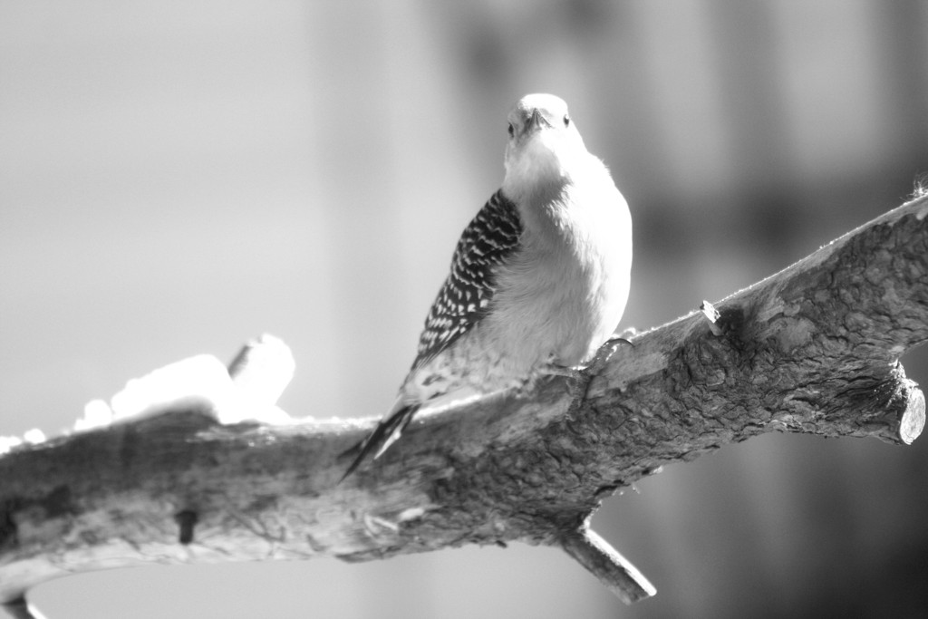 Woodpecker in black and white by bruni