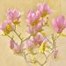 Magnolia by joysfocus