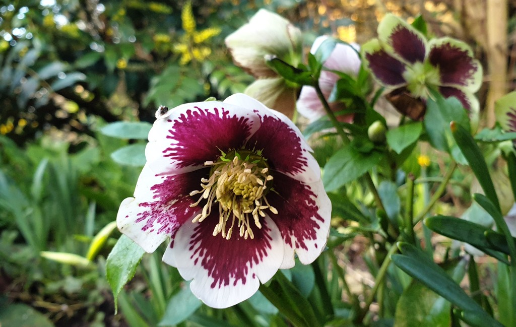 More hellebores by julienne1