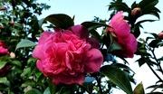 20th Feb 2020 - Camellia