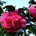 Camellia by julienne1