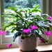 Christmas Cactus? Easter Cactus? Mid February Cactus?