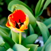 Tulips Make Me Happy