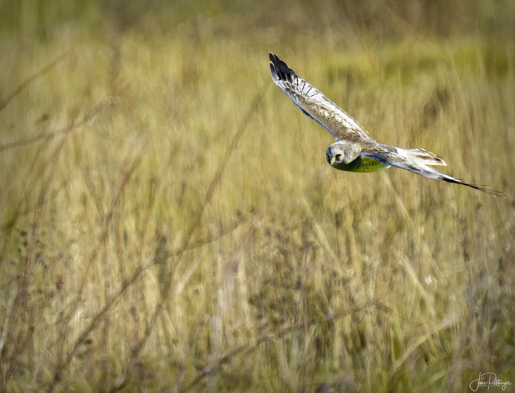 Northern Harrier Looking for Lunch by jgpittenger
