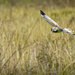 Northern Harrier Looking for Lunch