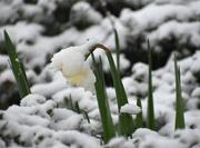 20th Feb 2020 - Daffy Snow
