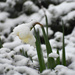Daffy Snow