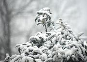 20th Feb 2020 - Snow tree