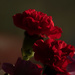 Photo stacked caranations