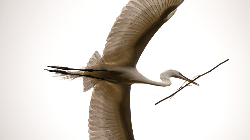 Egret Fly-by! by rickster549