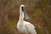 21st Feb 2020 - Muddy young spoonbill
