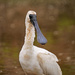 Muddy young spoonbill