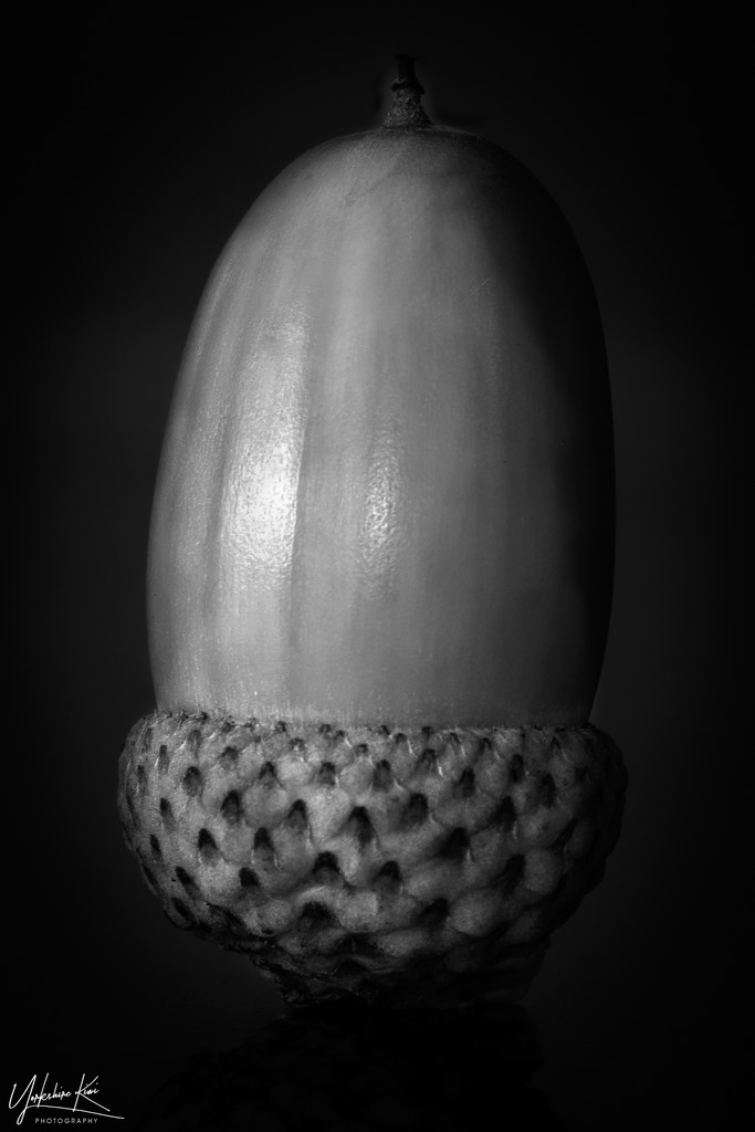 Acorn by yorkshirekiwi