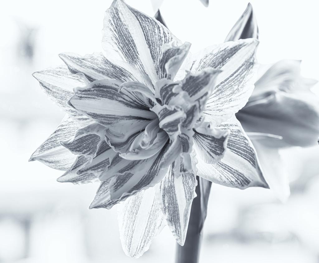 Amaryllis by pamknowler