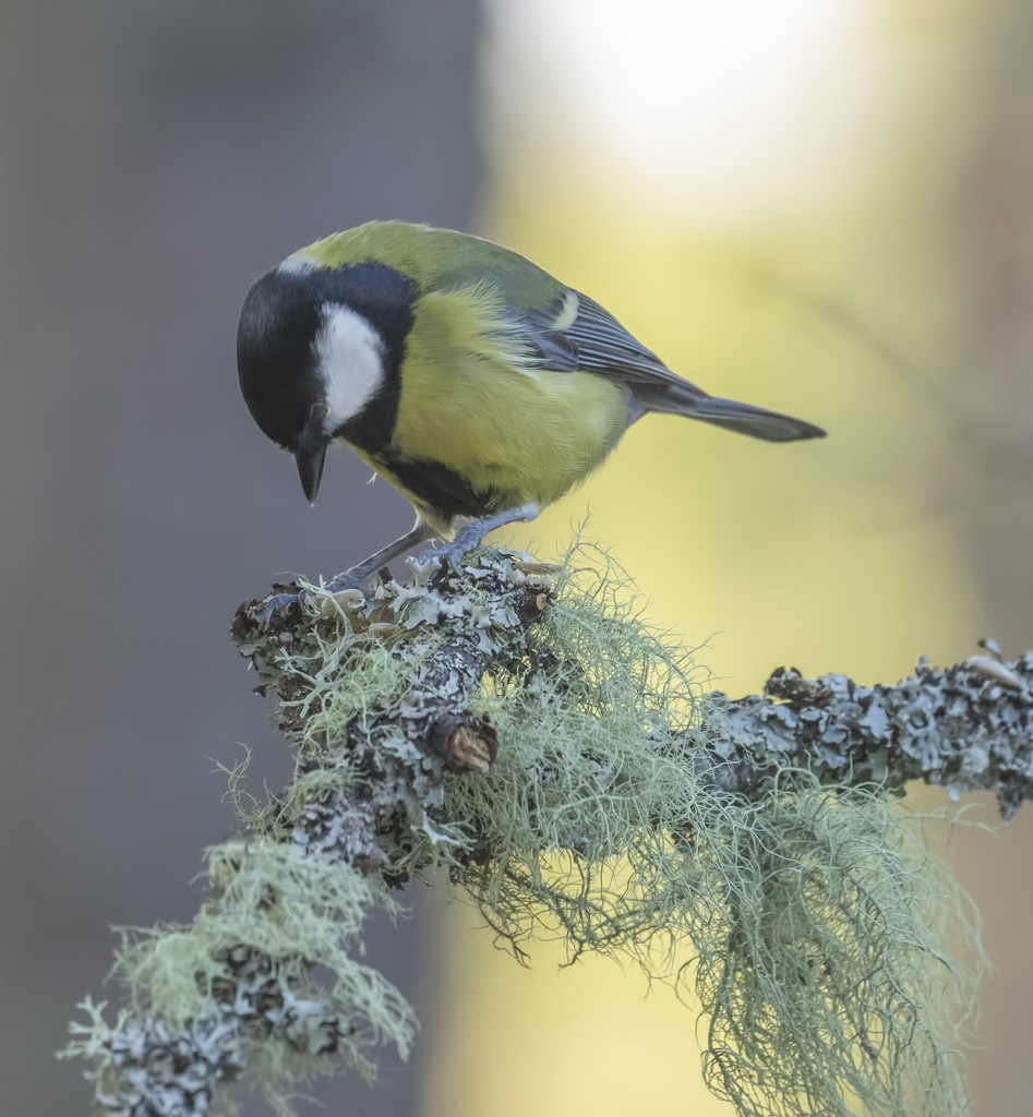 Great Tit by shepherdmanswife