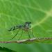 Tabanide-Horse fly