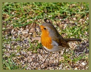 21st Feb 2020 - Bright-eyed Robin