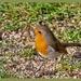 Bright-eyed Robin by carolmw