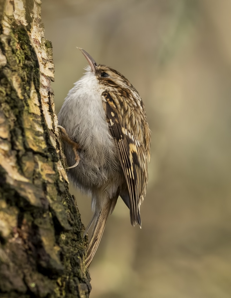 tree creeper  by shepherdmanswife