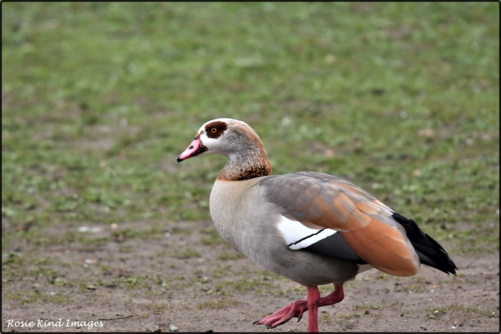 Egyptian goose by rosiekind