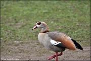 21st Feb 2020 - Egyptian goose