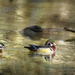 Wood Duck Pair Swimming Amongst the Branches by jgpittenger