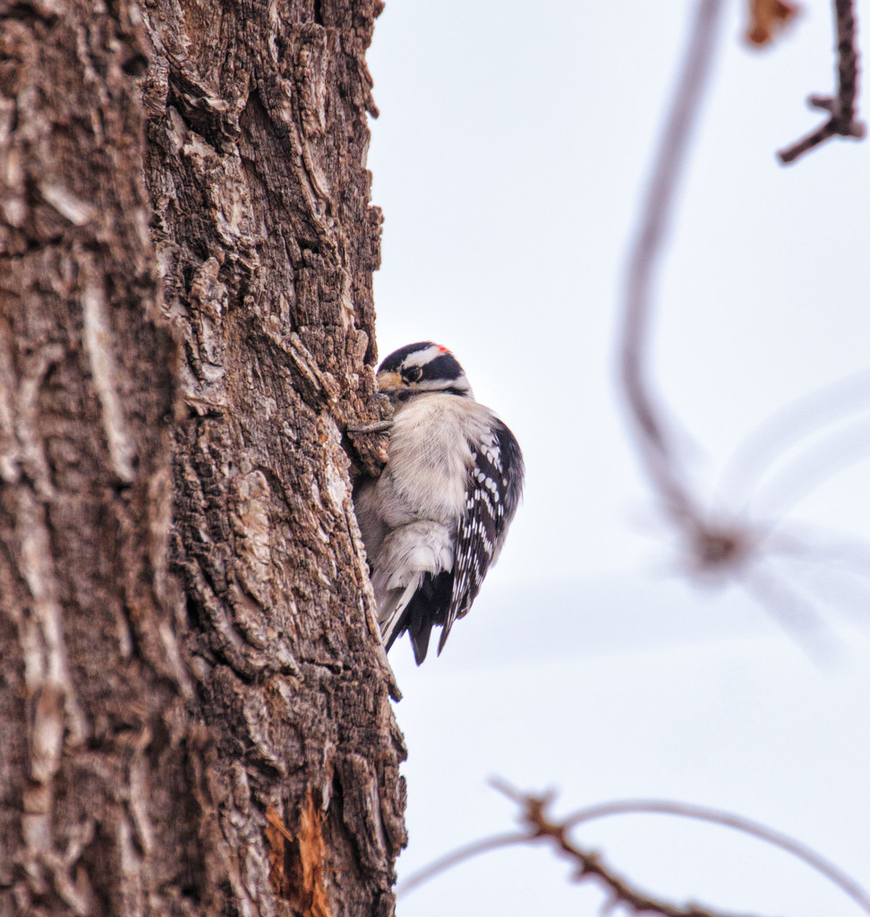 downey woodpecker by aecasey