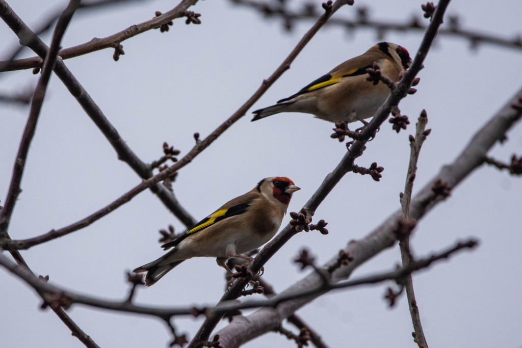 Goldfinches by stevejacob